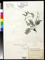 Filed as Atalopteris ekmanii Maxon, W.R. 1924 [family TECTARIACEAE]