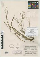 Holotype of Carex atractodes Hermann, F.J. 1950 [family CYPERACEAE]