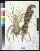 Holotype of Puya iltisiana Smith, L.B. 1966 [family BROMELIACEAE]