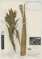 Isotype of Pitcairnia brunnescens Smith, L.B. 1949 [family BROMELIACEAE]