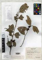 Isotype of Maytenus corei Lundell, C.L. 1970 [family CELASTRACEAE]