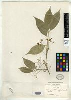 Isotype of Euonymus oblongifolia Loesener, L.E.T. & Rehder, A. 1913 [family CELASTRACEAE]