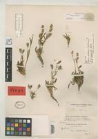 Isotype of Lychnis californica Watson, S. 1877 [family CARYOPHYLLACEAE]