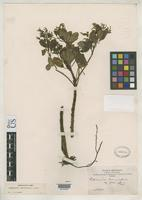 Isotype of Peperomia brevispica Candolle, A.C.P. de 1898 [family PIPERACEAE]