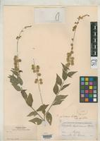 Filed as Polygala jaliscana Blake, S.F. 1916 [family POLYGALACEAE]