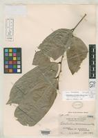 Lectotype of Cleistanthus misamisensis Robinson, C.B. 1911 [family EUPHORBIACEAE]