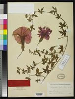 Isotype of Ipomoea laeta Gray, A. 1887 [family CONVOLVULACEAE]
