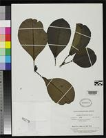 Isotype of Tovomita caloneura Smith, A.C. 1939 [family CLUSIACEAE]