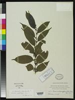 Isotype of Casearia chlorophoroidea Rusby, H.H. 1920 [family FLACOURTIACEAE]