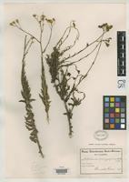 Isotype of Senecio trachyphyllus Schlechter, F.R.R. 1899 [family ASTERACEAE]