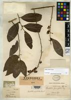 Filed as Embelia prunifolia Mez, C.C. 1902 [family MYRSINACEAE]