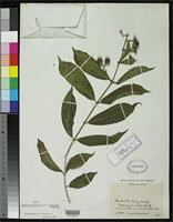 Holotype of Aegiphila magnifica var. pubescens Moldenke, H.N. 1950 [family VERBENACEAE]