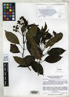 Holotype of Miconia tachirensis Wurdack, J.J. 1970 [family MELASTOMATACEAE]