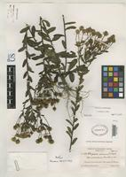 Isotype of Chrysopsis mariana var. macradenia Fernald, M.L. 1937 [family ASTERACEAE]