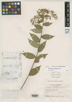 Isotype of Archibaccharis subsessilis Blake, S.F. 1937 [family ASTERACEAE]