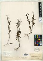 Holotype of Justicia pectonalis var. stenophylla Leonard, E.C. 1958 [family ACANTHACEAE]