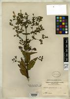 Isotype of Hedyotis megalantha Merrill, E.D. 1914 [family RUBIACEAE]