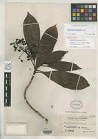 Isotype of Psychotria lucida Merrill, E.D. 1920 [family RUBIACEAE]