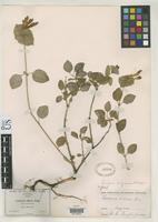 Filed as Lonicera arizonica Rehder, A. 1902 [family CAPRIFOLIACEAE]