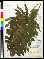 Filed as Pteris trialata Sodiro, A. 1893 [family PTERIDACEAE]