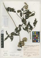 Holotype of Asplundianthus sagasteguii King, R.M. & Robinson, H. 1978 [family ASTERACEAE]