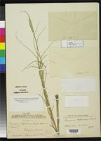 Filed as Panicum bifarium Hackel, E. 1897 [family POACEAE]