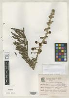 Isotype of Mimosa thermarum Barneby, R.C. 1991 [family FABACEAE]
