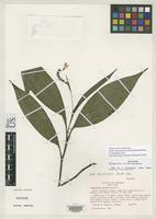 Holotype of Palmorchis nitida Dressler, R.L. 1983 [family ORCHIDACEAE]