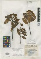Isotype of Photinia guerreris Phipps, J.B. 1992 [family ROSACEAE]