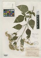 Holotype of Ageratina alexanderi King, R.M. & Robinson, H. 1990 [family ASTERACEAE]