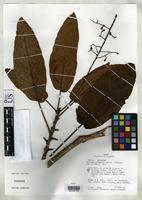 Isotype of Meliosma cordata Gentry, A.H. 1981 [family SABIACEAE]