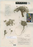 Isotype of Draba sierrae Sharsmith, C.W. 1940 [family BRASSICACEAE]