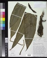 Isotype of Philodendron cretosum Croat, T.B. & Grayum, M.H. 1997 [family ARACEAE]