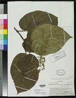 Isotype of Premna protrusa Smith, A.C. & Darwin, S.P. 1991 [family VERBENACEAE]