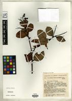Isotype of Vaccinium dictyoneuron Sleumer, H.O. 1963 [family ERICACEAE]