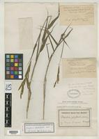 Isotype of Paspalum phyllorhachis Hackel, E. 1901 [family POACEAE]