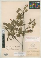 Holotype of Grimaldia standleyi Britton, N.L. & Rose, J.N. 1930 [family FABACEAE]