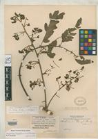 Isotype of Machaerium bangii Rusby, H.H. 1907 [family FABACEAE]
