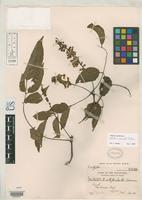 Isotype of Millettia stipulata Dunn, S.T. 1911 [family FABACEAE]
