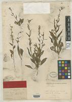 Holotype of Nicotiana greeneana Rose, J.N. 1890 [family SOLANACEAE]