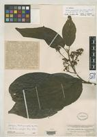 Filed as Ocotea perseifolia Mez, C.C. & Donnell Smith, J. 1895 [family LAURACEAE]