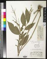 Isoneotype of Ichnanthus panicoides Palisot de Beauvois, A.M.F.J. 1812 [family POACEAE]