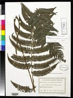 Isotype of Thelypteris buchtienii Smith, A.R. 1980 [family THELYPTERIDACEAE]
