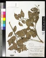 Isotype of Licania stenocarpa Standley, P.C. 1937 [family ROSACEAE]