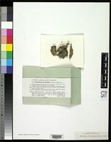 Isotype of Chaenotheca benearnensis Vezda, A. & Vivant, J. 1972 [family CONIOCYBACEAE]