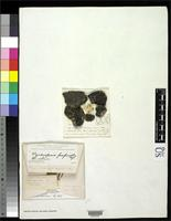 Isotype of Pyrenopsis corallina Willey, H. 1882 [family LICHINACEAE]