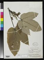 Isotype of Pourouma essequiboensis Standley, P.C. 1939 [family MORACEAE]