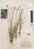 Filed as Hydastylus longipes Bicknell, E.P. 1900 [family IRIDACEAE]