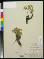 Isotype of Potentilla eriocarpa var. cathayana Schneider, C.K. 1917 [family ROSACEAE]