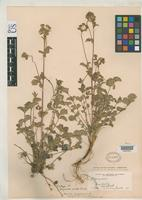 Isotype of Drymocallis viscida Parish, S.B. 1904 [family ROSACEAE]